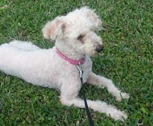 zoey-poodle