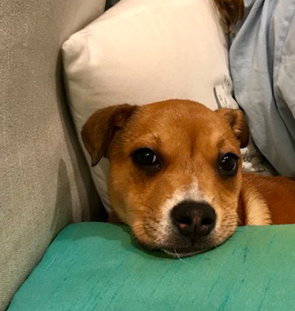 Lilly Mixed breed for adoption Boca Raton FL